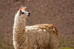 Lama, informations sur le Chili